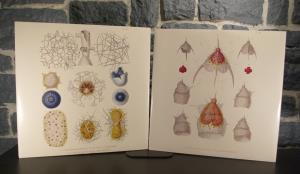 Radiolarians- The Evolutionary Set (31)