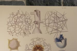 Radiolarians- The Evolutionary Set (34)